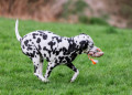 best dalmatian dog toys_dogstruggles