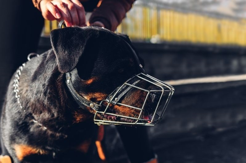 Rottweiler puppy with a metal muzzle