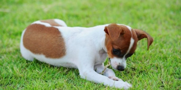 Jack Russell eating grass