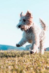 white dog jumping outside